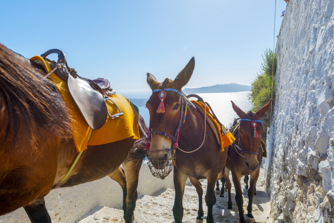 'Greece Santorini island in Cyclades, Donkeys waiting for tourists for a ride in Fira' - Santorini